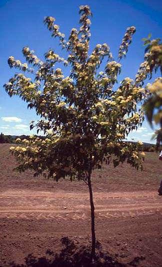 Fruit of Drummond Dogwood