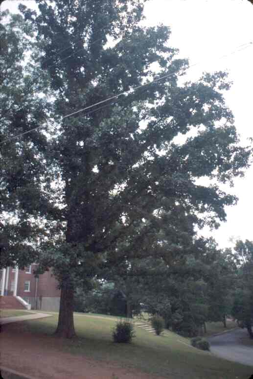 Post Oak on a College Campus