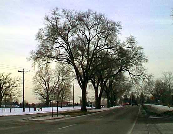 Siberian Elms, Columbus, Ohio