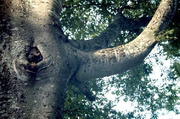 Bark of Sugar Hackberry