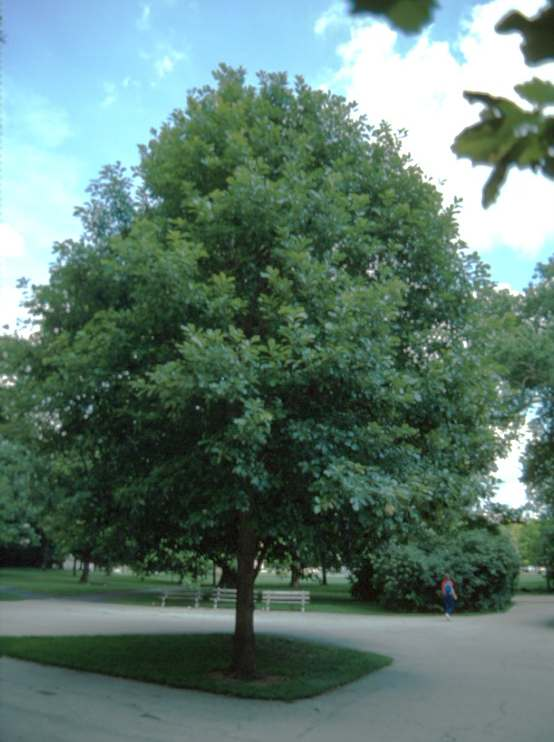 Swamp White Oak on The Ohio State Univ. Campus