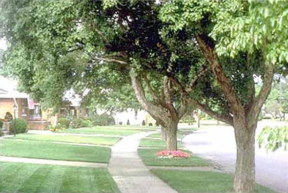Trident Maples